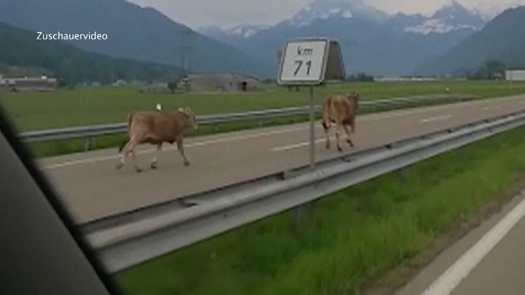 Kühe auf der Autobahn unterwegs