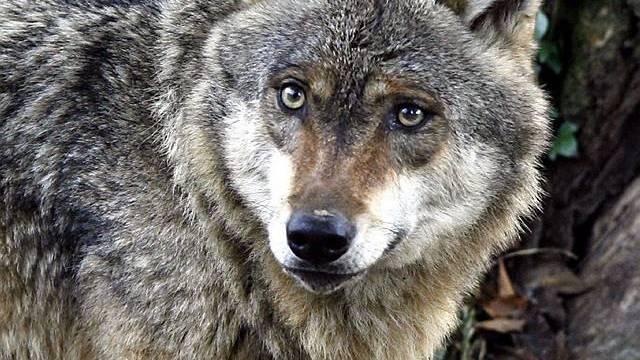Ein Wolf im Tierpark Goldau (Archiv)