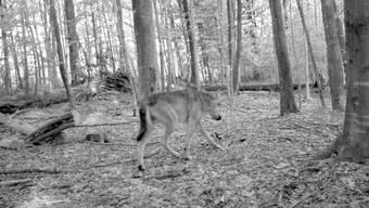 Der letzte Beweis für einen Wolf im Zürcher Oberland: Im Herbst 2015 tappt ein Wolf in eine Fotofalle.