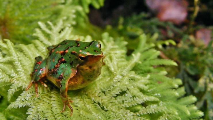 Der Daumennagel-kleine Darwinfrosch kommt in den Wäldern Südargentiniens und Chiles vor.