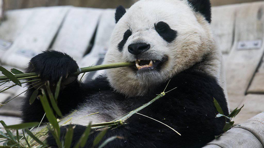 Das Panda-Weibchen Bao Bao vor seinem 16-stündigen Direktflug von Washington D.C. nach China.