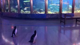 """""""Shedd Aquarium"""" in Chicago: Die einzigen """"Besucher"""" sind die Pinguine von nebenan."""