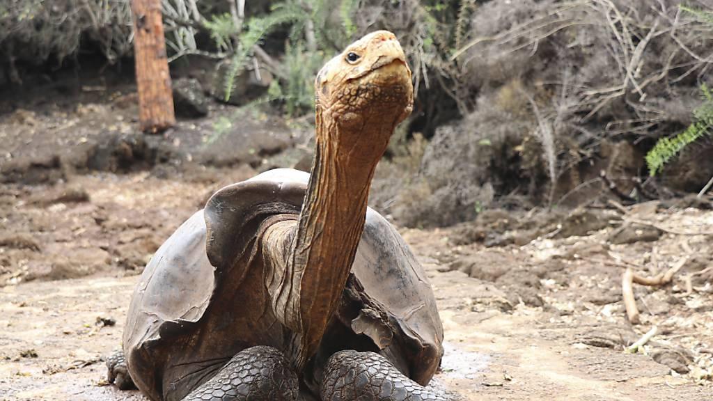 Galápagos-Inseln: Forscher suchen nach Verwandten von Schildkröten