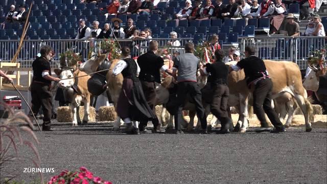 So kam es zum «Rinderwahnsinn» am Unspunnenfest