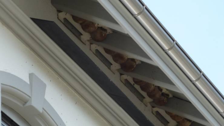 Schwalbennester an der Dachunterseite