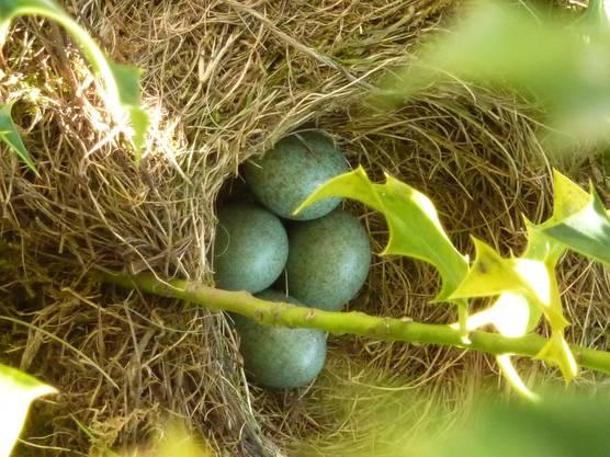 Und am 25. April liegen schon vier Eier im Nest.