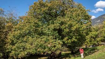 """Im Alter zeigt die """"Lüina"""" ihre typische Baumform mit ihrer ausladenden, nicht sehr hohen Baumkrone."""