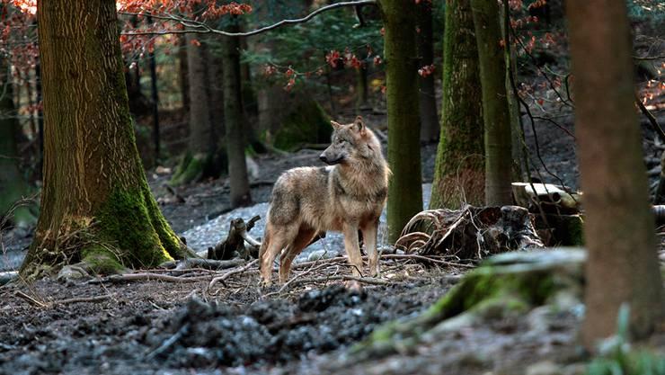 Im achten Teil seiner Coronakolumne «Wer zuletzt lacht...» spekuliert Martin von Aesch, bald Wölfe durch Zürich streifen (hier ein Exemplar im Wildnispark Zürich)
