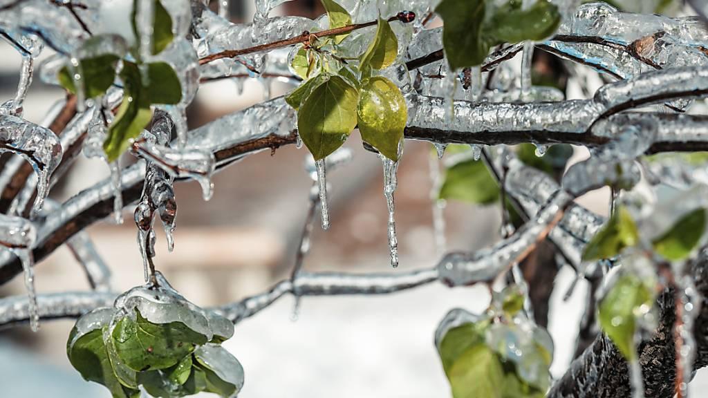 Eiszapfen bilden sich an einem Baum im äußersten Südosten Russlands. Foto: Aleksander Khitrov/AP/dpa