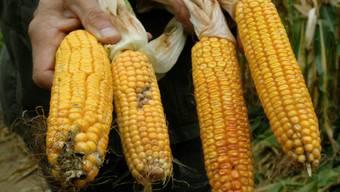 Genmanipulierter Mais (Symbolbild)