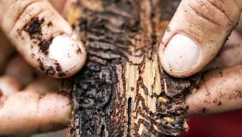 Löcher in der Rinde und dem Bast eines Fichtenstücks: Borkenkäfer frassen sich im vergangenen Jahr besonders stark durch Schweizer Wälder. (Archivbild)