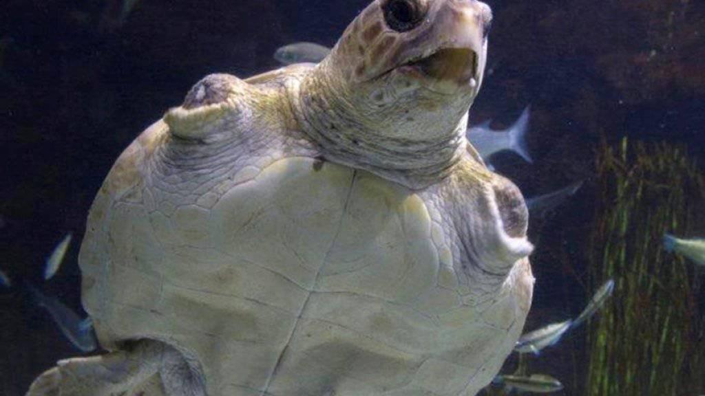 In Griechenland in Gefahr: Die Karettschildkröte. Das Mittelmeerland wurde dafür vom Europäischen Gerichtshof verurteilt. (im Bild: ein Exemplar im Loro Park auf Teneriffa)