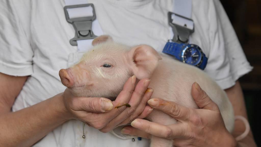 «Keine Frage ob, sondern wann die Schweinepest kommt»