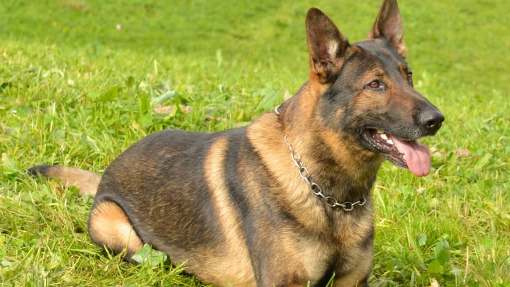 Feines Näschen: Polizeidiensthund «Capo» stellte in Kriens einen flüchtigen Auto- und Velodieb.