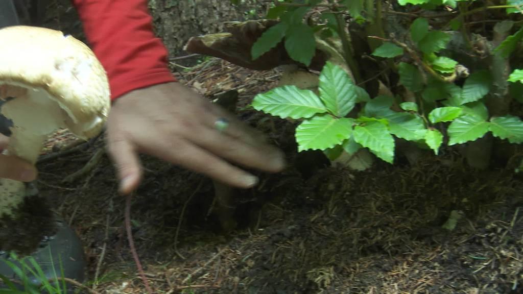 Pilzsaison: Anhaltende Niederschläge begünstigen Wachstum