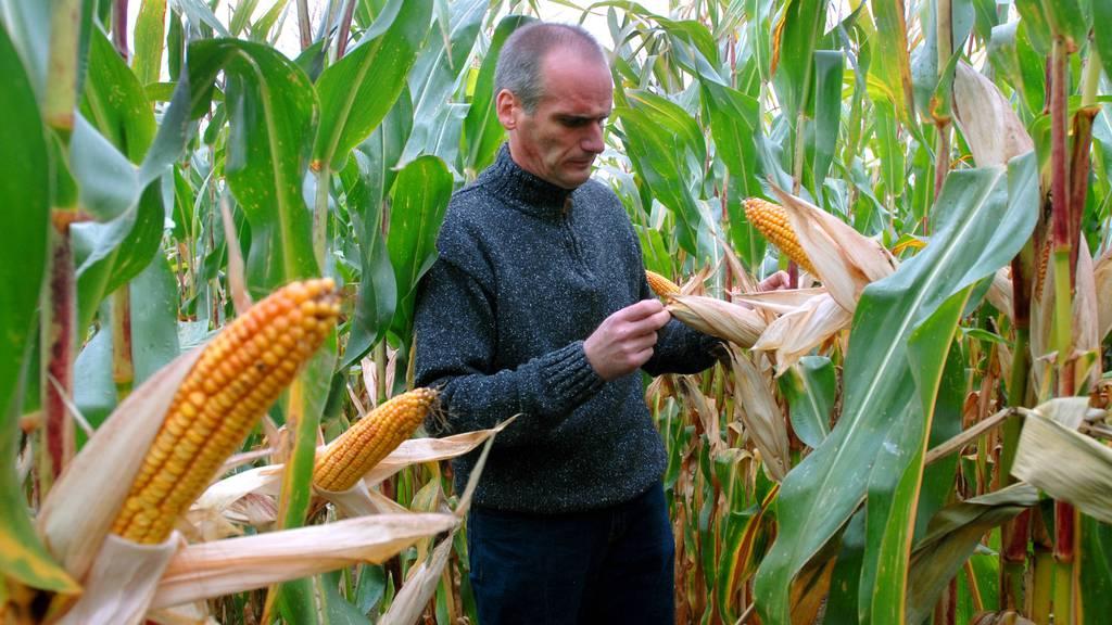 Neue Genmaissorten sind für die Umwelt nicht gefährlich