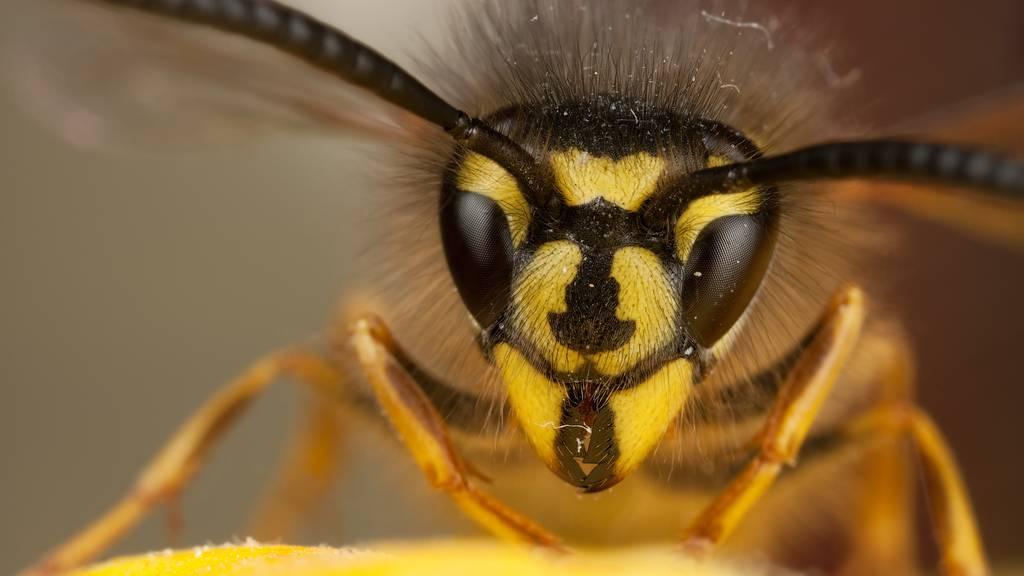Die Gemeine Wespe hat eine typische Zeichnung auf der Stirnplatte, welche sie von der Deutschen Wepse unterscheidet. Charakteristisch ist der breite schwarze Strich, der sich nach unten keulenförmig verdickt. Hier hat die Deutsche Wespe meist drei Punkte, die teilweise zu einem Strich verschmelzen können.