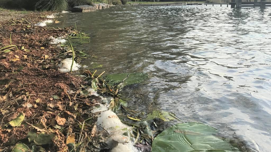Tödliche Gefahr für Hunde: Giftige Blaualgen im Hüttwilersee