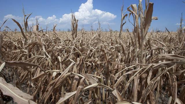 Maisfeld im US-Bundesstaat Iowa: Dürren verteuern Nahrungsmittel (Archiv)