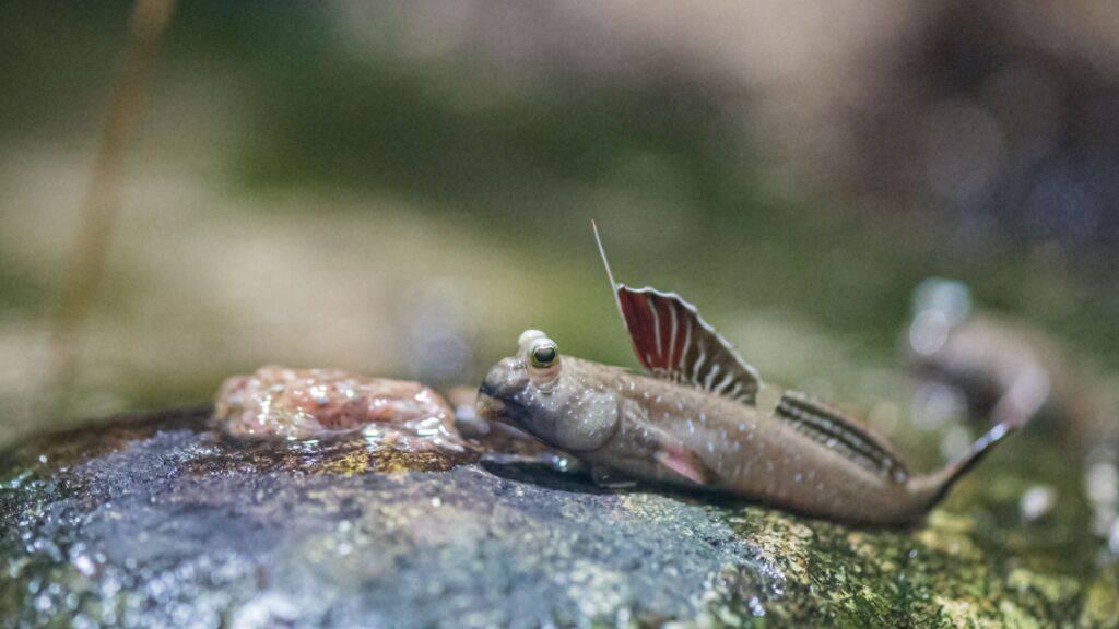 Der Zoo Basel präsentiert Fische, die das Landleben lieben
