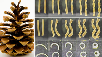 Kiefernzapfen standen Paten für dieses neuartige Verbundmaterial, das aus unterschiedlichen Lagen zusammengesetzt ist, welche sich verschieden stark verformen können.