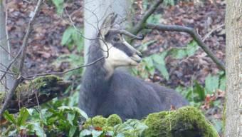 Die Gämse mit nur einem Horn lebt in einer kleinen Gruppe im Gemeindegebiet von Kaisten.