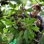 Bauern sollen weniger Pestizide einsetzen, fordert der Bundesrat. Im Bild eine Frau bei der Kirschernte.