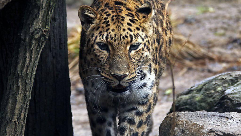 Ein Leopard hat den Betrieb am Flughafen von Kathmandu kurzfristig lahmgelegt. (Symbolbild)