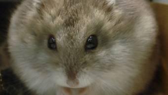 Obwohl Hamster Einzelgänger sind, werden sie in Fachgeschäften zum Teil mit zahlreichen Artgenossen gehalten. (Symbolbild)