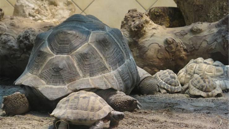 Zum «Seeteufel» gehört auch eine Schildkrötenfamilie. zvg