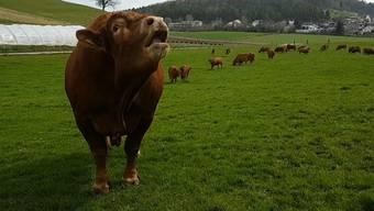 Ein Stier auf der Schiene behinderte am Morgen den Verkehr. (Symbolbild)