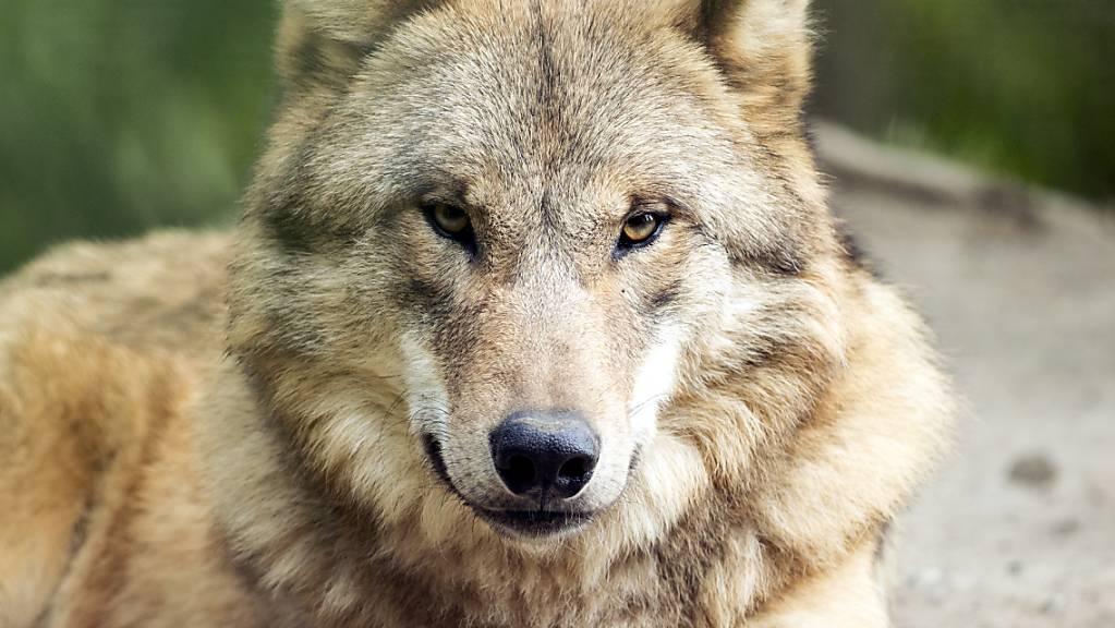 Ein Wolf im Zoo Zürich.