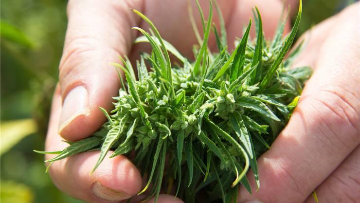 Nahaufnahme einer Hanfpflanze: Man sieht auch die Hanfnüsse.