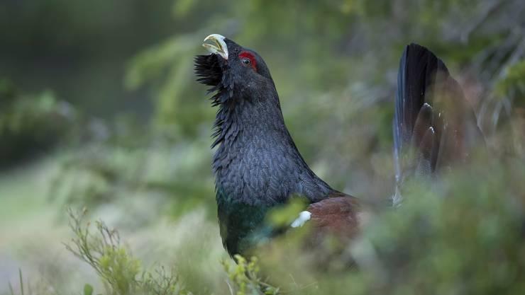 Die Vogelwarte Sempach betreibt im Kanton Schwyz ein Monitoring über den Bestand der Auerhühner.