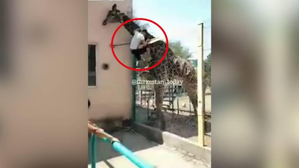 Absolute Bieridee: Kasache klettert in Zoo-Gehege und will auf Giraffe reiten