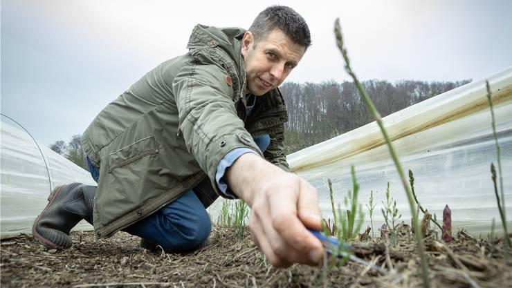 Seit einem Vierteljahrhundert werden auf dem Brynerhof Grünspargeln angepflanzt. Urs Bryner zeigt, wie sie fachmännisch geerntet werden.