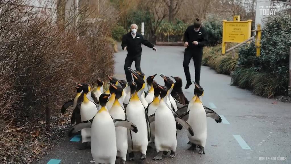 Jetzt tanzen sogar die Pinguine zu Jerusalema