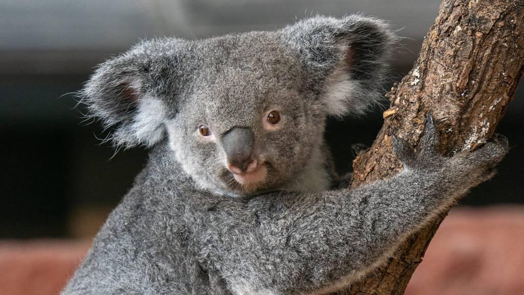 Koalaweibchen Pippa ist tot