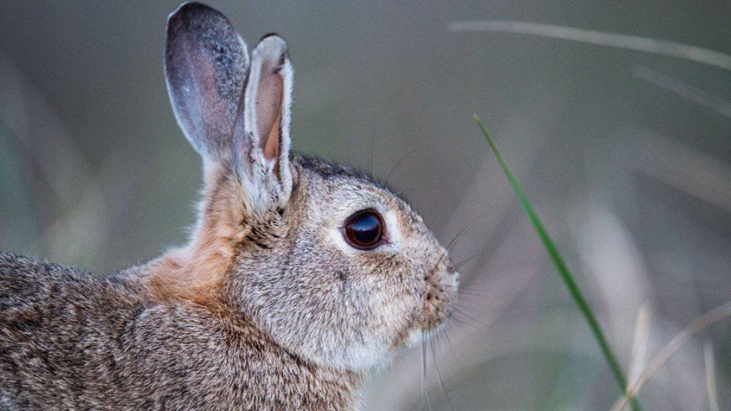 Im Kanton Graubünden sind Kaninchen an einem Virus erkrankt. (Symbolbild)