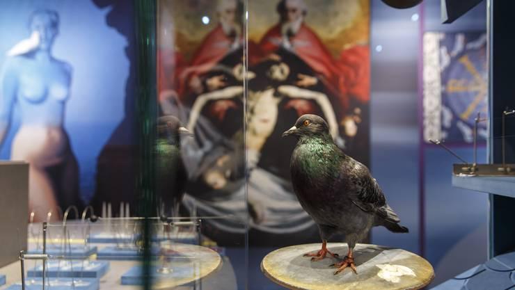 Sonderausstellung im Naturmuseum. Strassentauben - verehrt und verpönt