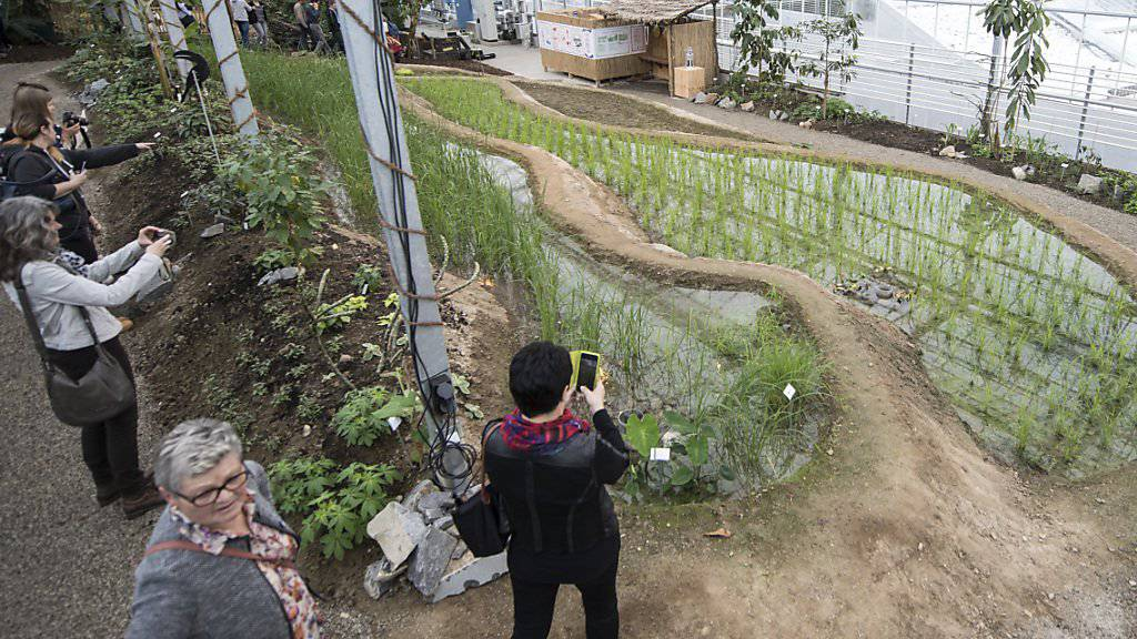Erst im vergangenen März eröffnete das Tropenhaus Wolhusen die einzigen Reis-Terrassen der Schweiz - nächstes Jahr stellt es seinen Betrieb ein. (Archivbild)