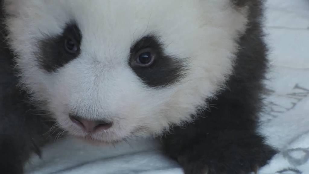 Zoo Berlin zeigt die herzigen Pandababys