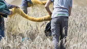 Das sind weder gewöhnliche Bauern noch gewöhnliche Ähren, sondern Agroscope-Angestellte in einem Versuchsfeld für gentechnisch veränderte Pflanzen am Standort Zürich. (Archiv)