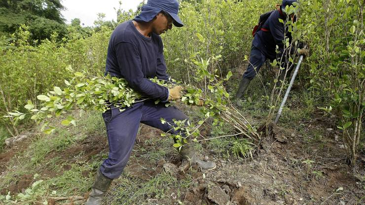 Die Koka-Pflanze ist bei Drogenhändlern sehr beliebt - doch die Polizei fand das Feld, noch bevor aus der Pflanze Kokain hergestellt wird.