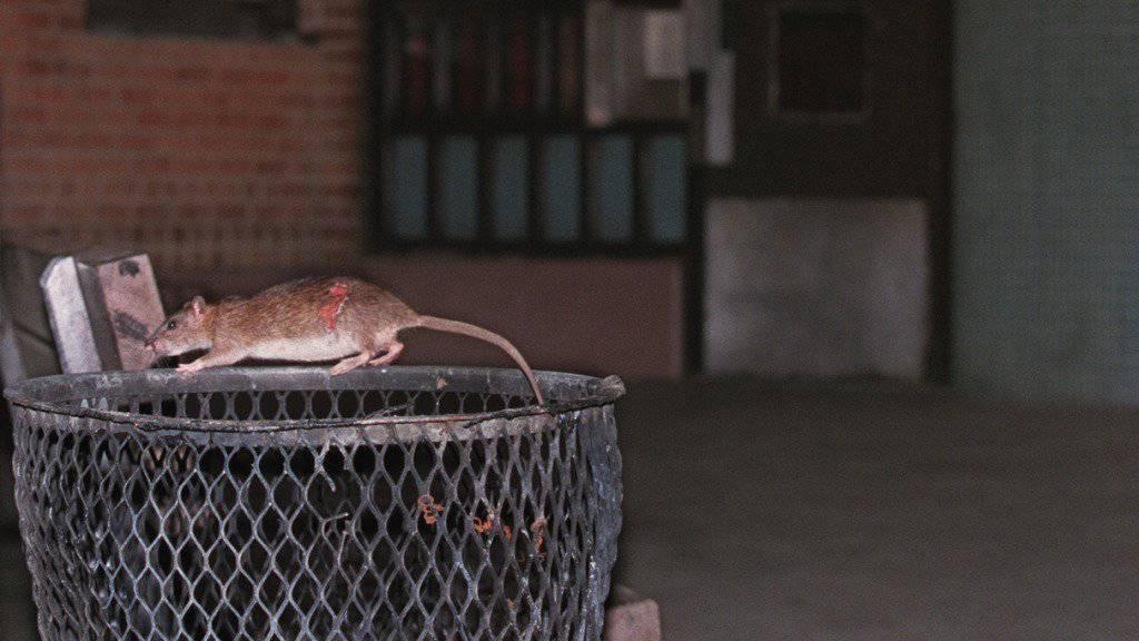 In Paris leben schätzungsweise gegen vier Millionen Ratten.