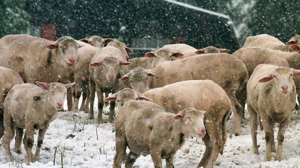 Ausgeprägteste Schafskälte seit 10 Jahren