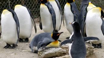 In Australien erleben zwei männliche Pinguine grosses Elternglück: Die beiden Eselspinguine Sphen und Magic brüteten ein Junges aus und geniessen ihren Rolle als Eltern in vollen Zügen, wie das Sea Life Aquarium in Sydney mitteilte. (Symbolbild mit Königspinguinen und einem Eselspinguin, vorne)