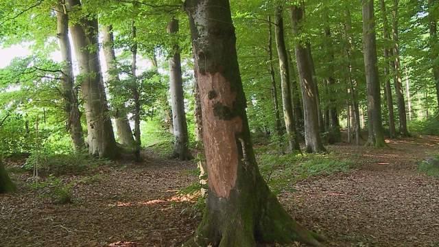 Baumschänder in Niederbuchsiten