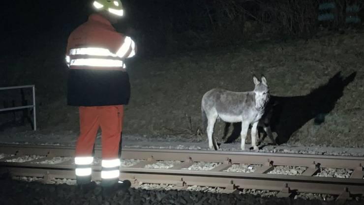 Die beiden verunsicherten Esel nach dem Unfall. Die Schwere der Verletzungen am Kopf der Stute sei für Laien nicht sofort ersichtlich gewesen, sagte Polizeisprecherin Mattarel.