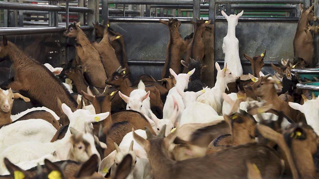 Abfallprodukt der Milchwirtschaft: Wenige Wochen alte Zicklein im Schlachthof.
